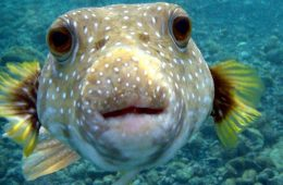 PROMO_Puffer-fish